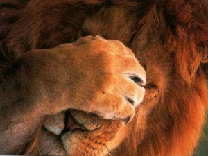 lion_facepalm-300x225